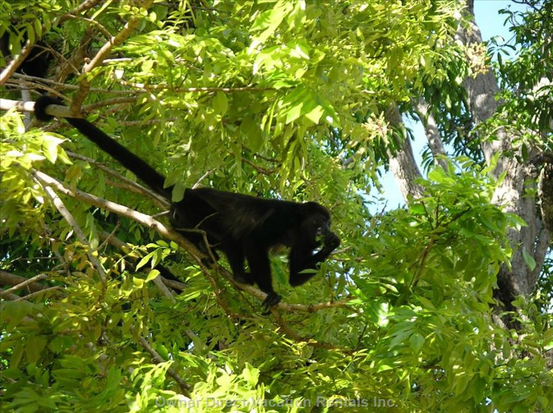 Howler Monkey in Front of the Villa