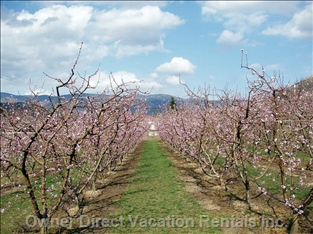 Peaches in Blossom all around Prades - End of February