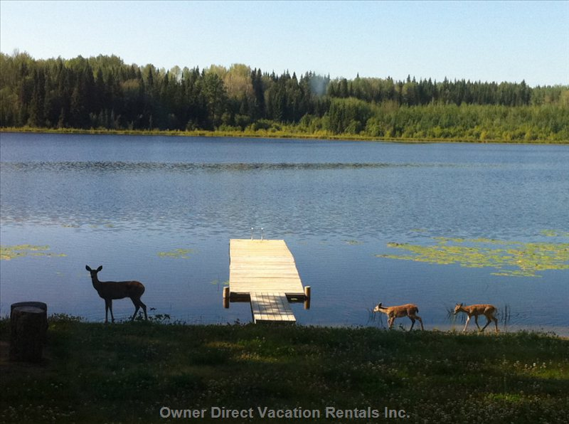 """Two Cute"" - we Had some Special Visitors for Breakfast this Morning!  Wow!! Baby Fawns and Momma.  they Stayed for Ten Wonderful Minutes and Drank Water from the Beach and Boat Launch."