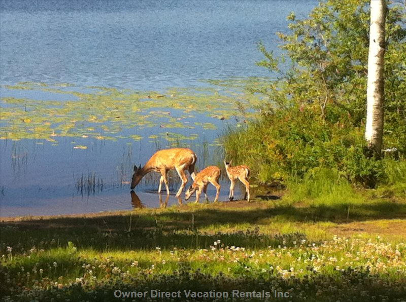 Beach - a Momma and Fawn Coming for a Morning Drink of Water