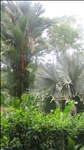 Lush Tropical Vegetation Surrounding the Home: several Species of Palms, Banana Trees and Fruit Trees.