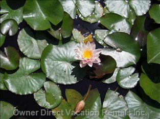 "The Old Pond Aquatic Flowers ""Water Lily"" Open in the Morning, Close at the Evening..."