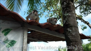 Playful and Rare Squirrel Monkeys Visit Manuel Antonio Estates Often.
