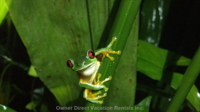 Red-Eyed Tree Frog we Saw on Night Tour.