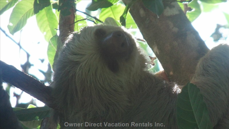 A Local Sloth Captured with Camera Phone through a Spotting Scope.