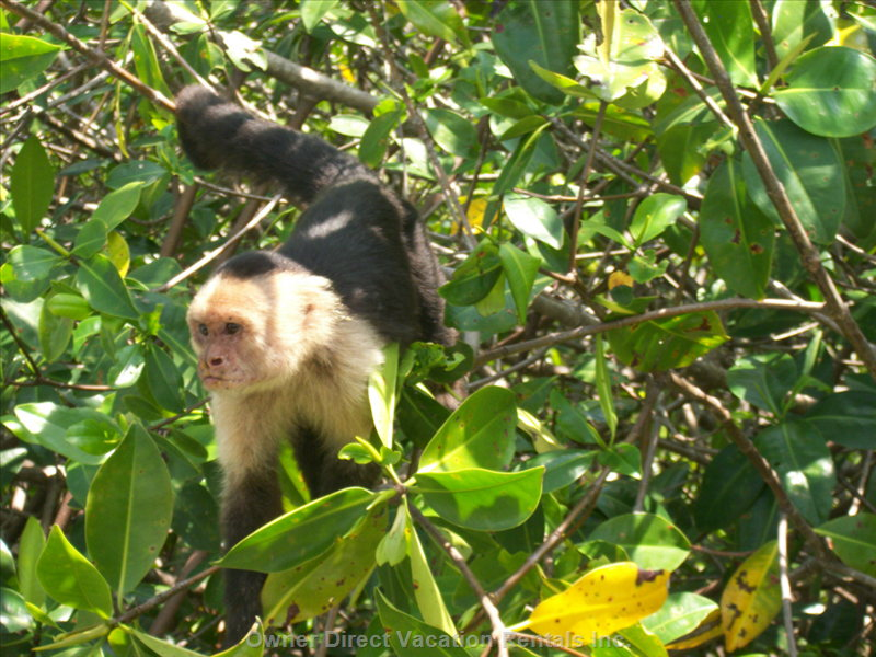 White-Faced Capuchin Monkey Foraging for Food.