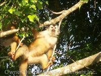Squirrel Monkeys Congregate near Manuel Antonio Beach.