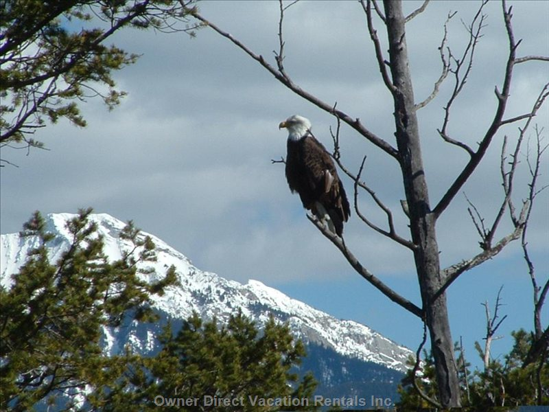 Bald Eagles Too......