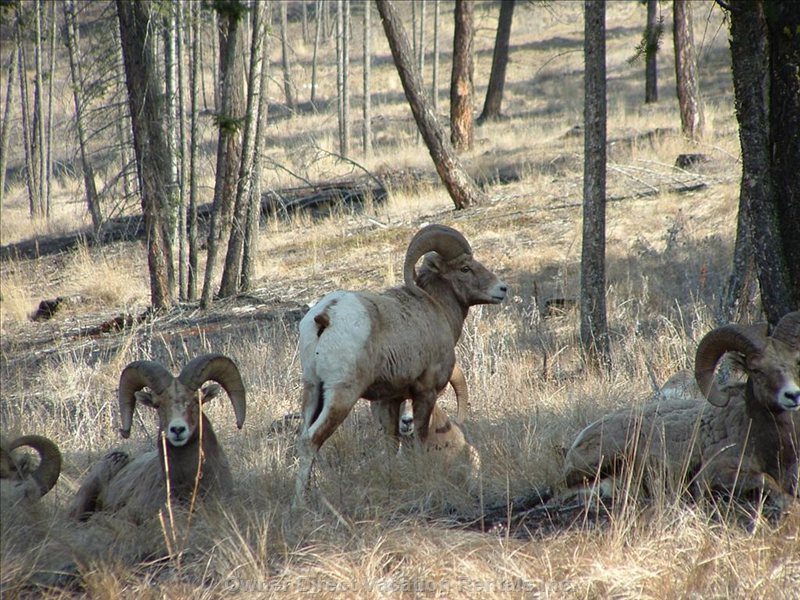 And of Course Big Horn Sheep....