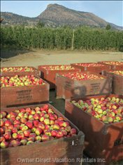 Ambrosia Apple Harvest in September.
