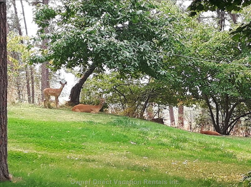 The Ocassional Deer Family on the Front Lawn under the Cherry Tree.