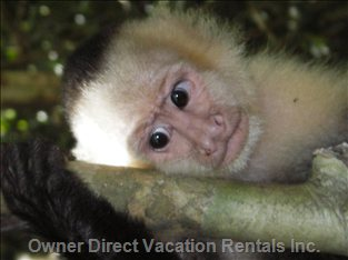 White Face Monkey... Just a Baby!