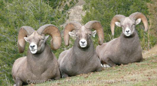 Enjoy Wildlife Viewing and Resident Bighorn Sheep