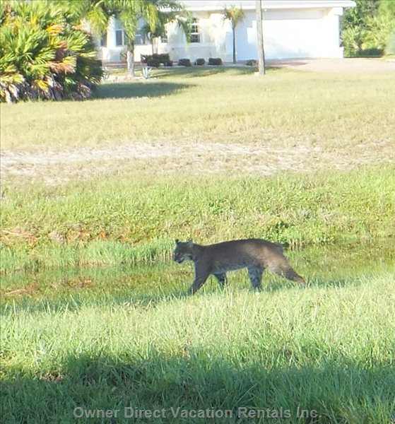 Bobcat Strolls across the Back Garden