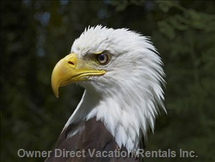 Eagles Sit Regally in our Trees and Soar Gracefully over our Property