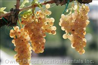 Grapes Vernaccia