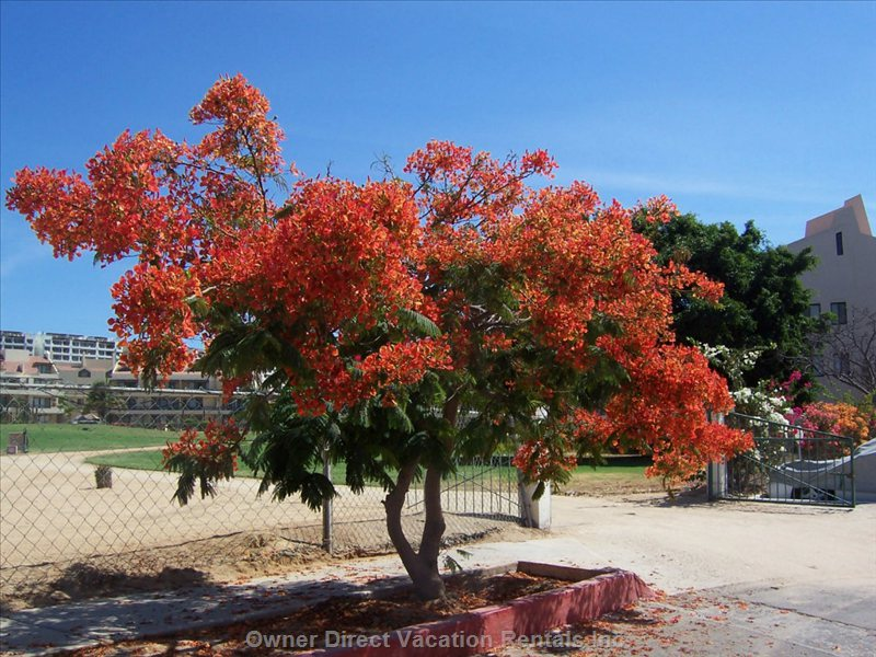 The Beautiful Royal Poinciana Tree