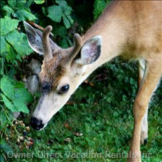 Local Deer Sneaking a Snack from our Wild Blackberry Vines.