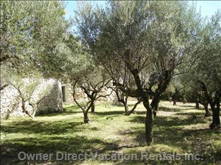 Olive Grove - this is the Olive Grove on the Lower Terrace -- There Are 80 Olive Trees on the Property!