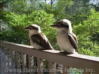 Some more Feathered Friends (Kookaburra)