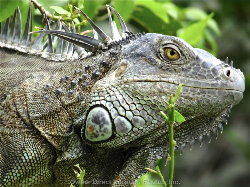 Keep your Eyes Peeled for the Iguanas.