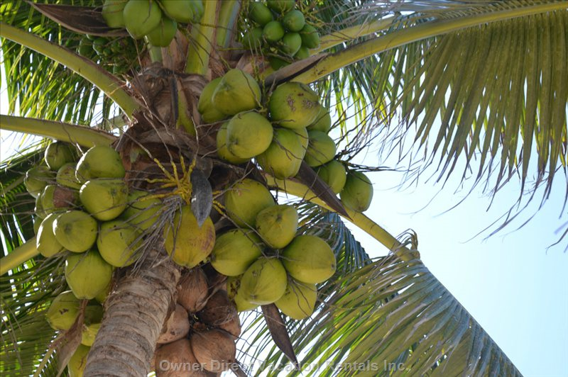 Coconut Water anyone ?