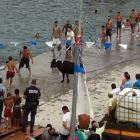 Bulls Swimming on the Port for the Festival.