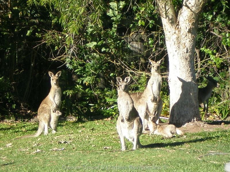 Resident kangaroos in the backyard, ID#207049