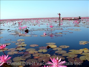 Local Lotus Lake
