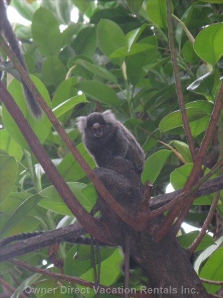 In the Trees Live Freely a Monkeys Colony, Very Pleasant to Watch