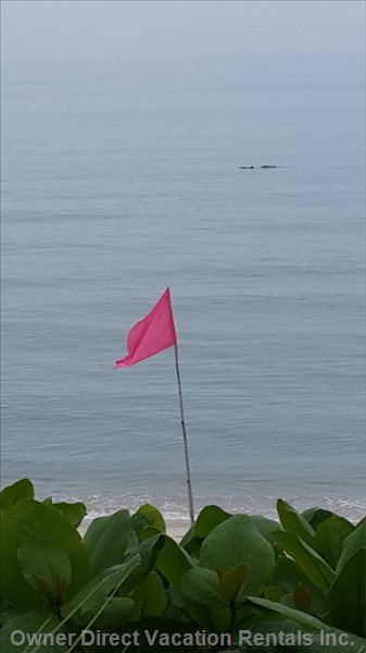Pink Dolphins Swim by Outside Khanom Beach Resident.