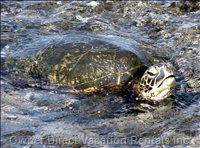 Turtle in Kona Lagoon, Right below your Unit!
