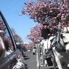 Famous Victoria Springtime Cherry Blossoms- in March