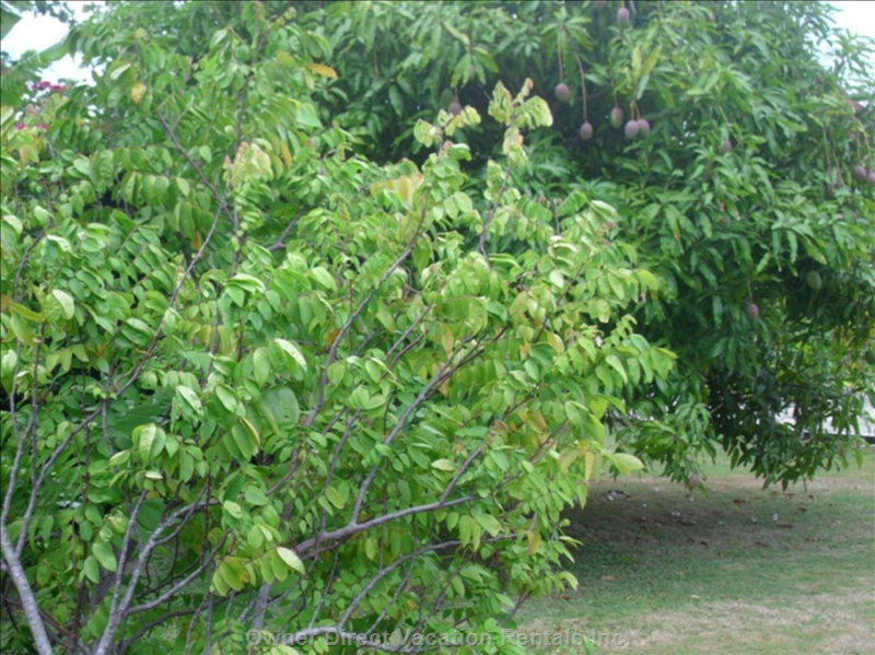 Mango and Star Fruit Tree