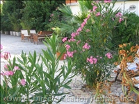 Oleanders and Euphorbia in Bloom - Remember you Are in the Hot Mediterranean