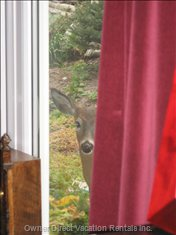 A Cheeky Deer Looking into the Dining Room. Surely he Doesn't Want our Food as well as the Garden Flowers?