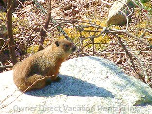 ...And another. A Groundhog Basking on a Rock in our Yard.