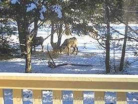 Winter View:  Big Horned Sheep Grazing off the Large Deck
