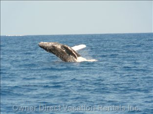 Humpback Whales Love West Maui in the Winter