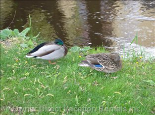 Find these Ducks on the Bank of our Creek - our Name Comes from our Feathered Friends that Bask in the Sun on the Banks of Mill Creek.