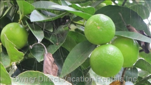 There are a few Fruit Tree Species on the Property: Lime, Carambola (Star Fruit), Guava, Banana.