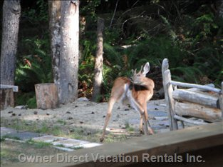 Morning Deer at Firepit