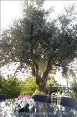 Olive Tree on Main Terrace