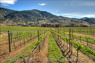 A vineyard in Osoyoos, BC