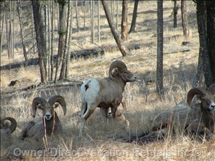 Big horn sheep in Radium