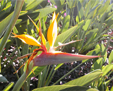 Bird of Paradise plant in bloom, Hawaii