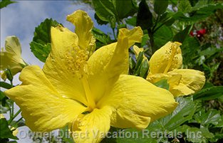 The Garden is Full of Tropical Flowers and Shrubs; Hibiscus, Bouganvillia, Bird of Paradise and an Orange Tree.